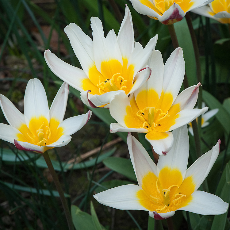 Tulip 'Ice Stick', early April. Officially classified as a Kaufmanniana Hybrid, this early flowering, clusiana-like tulip is white with a spreading yellow base and purplish-rose petal segments.