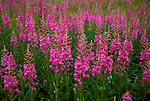 AK: Lake Clark National Park, Alaska, fireweed, wildflower.Photo Copyright: Lee Foster, lee@fostertravel.com, www.fostertravel.com, (510) 549-2202.Image: akbear204