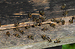 Honey Bee, Apis mellifera, workers fanning hive entrance,  social, network, .United Kingdom....