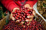 Handful of coffee cherries on a coffee farm on the slopes of the Santa Ana Volcano in western El Salvador.  (Model & Property Released)
