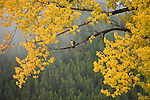 Red-tailed Hawk perched among fall color in Grand Teton National Park, Wyoming.