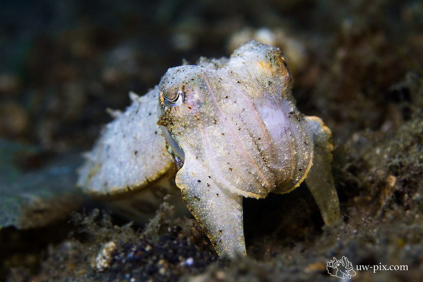 Needle Cuttlefish in Lembeh