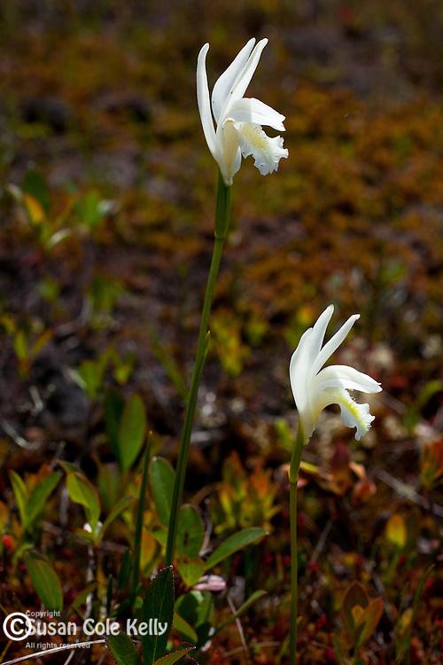 Dragon's Mouth orchids (Arethusa Bulbosa) in Hancock County, ME, USA