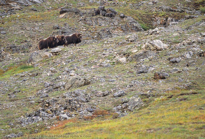 Muskoxen, Atigun canyon, Brooks mountain range, Alaska