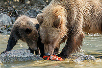 Alaskan Brown Bear (Ursus Arctos) sow and cub eats salmon at  shore of Crescent Lake in Lake Clark National Park, Alaska.  Summer<br /> <br /> Photo by Jeff Schultz/  (C) 2019  ALL RIGHTS RESERVED