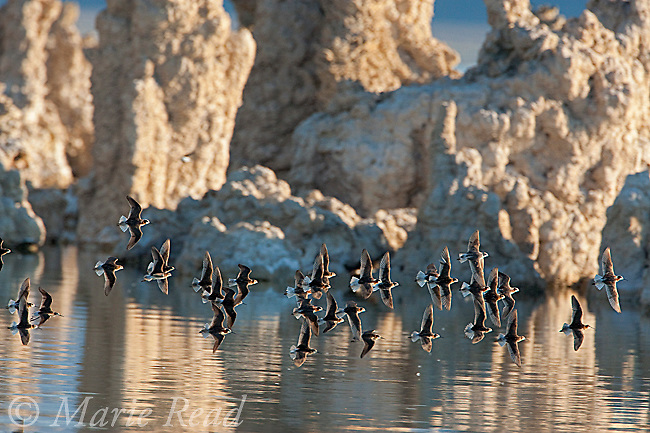 Wilson's Phalaropes (Phalaropus tricolor), flock flying past tufa formations, summer, Mono Lake, California, USA.