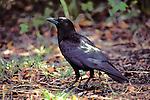 American Crow (Corvus brachyrhynchos) Everglades National Park, Florida, USA