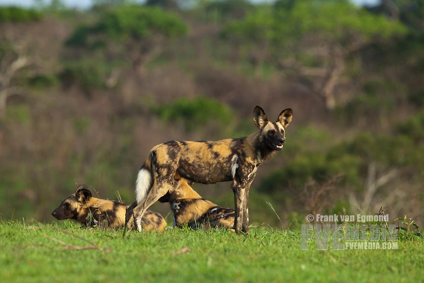 African Wild Dogs (Lycaon pictus)...Endangered species...Hluhluwe Imfolozi Game Reserve..Kwazulu-Natal, South Africa..November 2010.