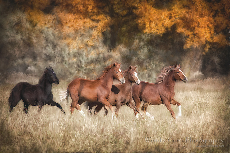 Small band of Paso Fino Colts, galloping through high grasses, autumn, New Mexico