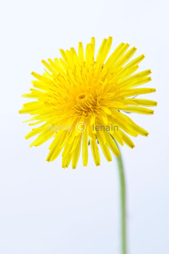 pissenlit, Taraxacum dens-leonis ou Taraxacum officinale, fleur // dandelion, Taraxacum officinale
