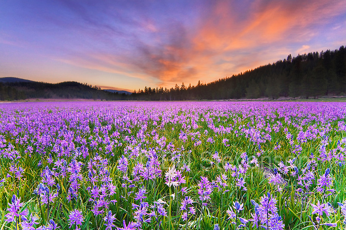 A photo of a single white Camas Lily flower in a field of purple flowers atsunrise in Sagehen Meadows near Truckee in California
