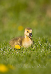 Canada Goose (Branta canadensis) gosling eating a leaf, Ithaca, New York, USA.