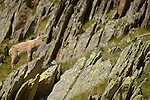 Alpine Ibex young (Capra ibex), Alps, Italy