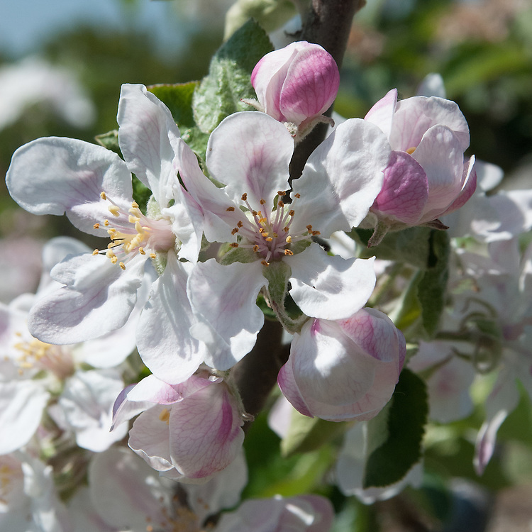 Blossom of cider apple 'Black Vallis', early May.