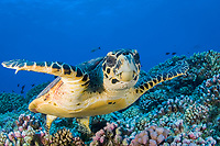 hawksbill sea turtle, Eretmochelys imbricata, French Polynesia, Pacific Ocean