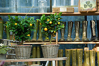 A pair of potted dwarf orange trees with shelves of boots in the background