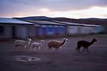 Alpaca (Vicugna pacos) group running through town at dusk, Ciudad de Piedra, Andes, western Bolivia