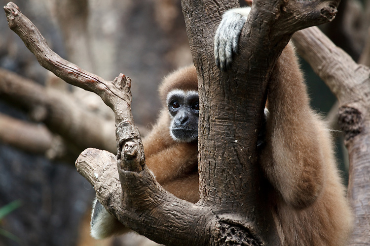 A monkey takes it easy in a tree at Omaha's Henry Doorly Zoo in Ohaha, Nebraska on August 11, 2010.