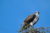 562057020 wild osprey pandion halaietus on nest ding darling national wildlife refuge sanibel island florida