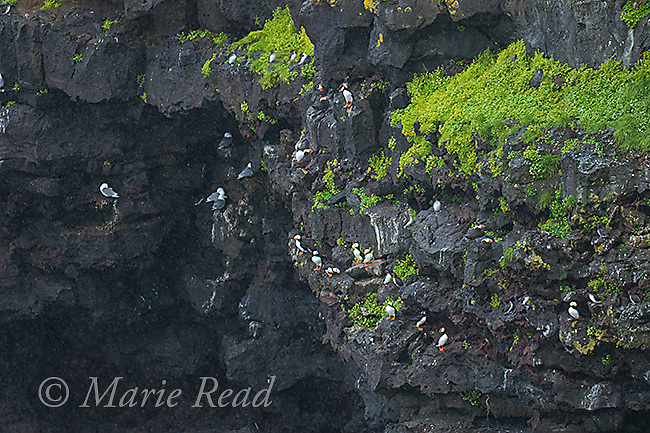 Multi-species seabirds (Horned and Tufted Puffins, auklets, kittiwakes) on a cliff face Ridge Wall, St Paul Island, Pribilofs, Alaska, USA
