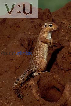 An Unstriped Ground Squirrel. ,Xerus rutilus,