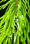 Raindrops amid Douglas fir needles, Coast mountain range, Oregon
