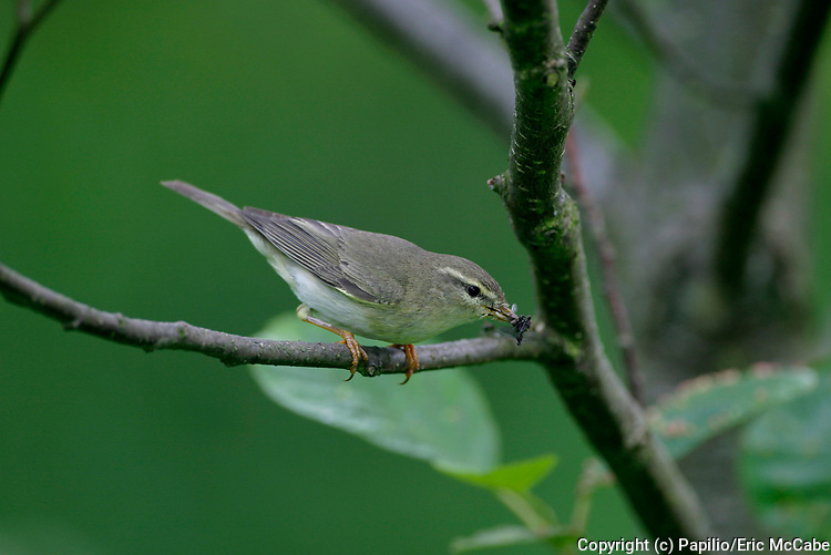 Willow Warbler, Phylloscopus trochilus, Perthshire, Scotland. 13/06/2004.