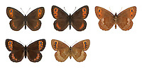 Scotch Argus - Erebia aethiops - male (top row) - female (bottom row). Wingspan 40mm. A hardy butterfly, adapted to cool climates. Adult recalls a broad-winged Ringlet but has rich brown upperwings with an orange band marked with eyespots. Underwings are brown, hindwing with a grey band, forewing with a yellowish band marked with eyespots. Flies July–September but only active in sunshine. Larva feeds on Purple Moor-grass. Local and restricted to northern England and southern and central Scotland. Favours woodland rides and clearings, and moorland where its larval foodplant is common.