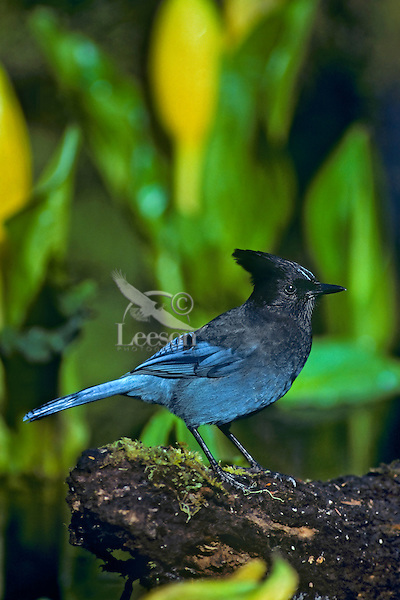 Steller's Jay sitting on log among skunk cabbage flowers.  Pacific Northwest.  Spring.