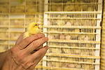 July 24, 2015. Candor, North Carolina.<br />  After 18.5 days in the setter, the eggs are vaccinated for Marek's disease and then placed in the hatchers for another few days until they break out of their shells and enter the world as chicks.<br />  Chicken producer Perdue Farms Inc. has become the first major poultry company to attempt to raise more than half of its flock with no antibiotics, human or for animals only. As demand for meats free of medicines has risen, Perdue has upgraded their facilities to increase cleanliness and sterility to allow the company to cut antibiotics out of the chicken hatching process.