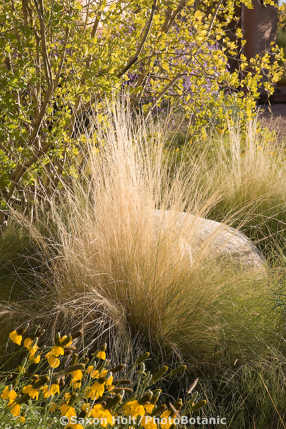 Xeriscape garden Santa Fe, New Mexico with Threadgrass (Nassella tenuissima), New Mexico Privet (Forestiera neomexicana), and Yellow Coneflower (Ratibida columnifera)