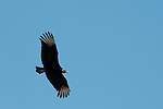 This vulture flies in the national park Machililla Ecuador