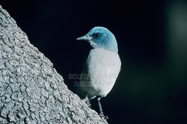 Mexican Jay, Aphelocoma ultramarina, adult, Madera Canyon, Arizona, USA, January 1996