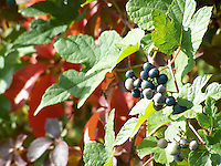 Asiatic Ampelosis berries and leaves