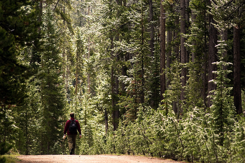 Tim Johnson, of Hinsdale, Ill., hikes the tree-lined Lone Star Geyser trail in Yellowstone National Park, Thursday, June 2, 2005. The trail, open to bikes and hikes, leads to an impressive solitary geyser that erupts every three hours. (Kevin Moloney for the New York Times)