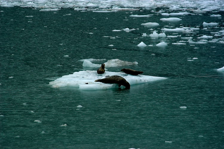 Alaska..Glacier Bay National Park, seals at Johns Hopkins Glacier..Cruise on Spirit of Discovery..Photo copyright Lee Foster, 510/549-2202, lee@fostertravel.com, www.fostertravel.com.