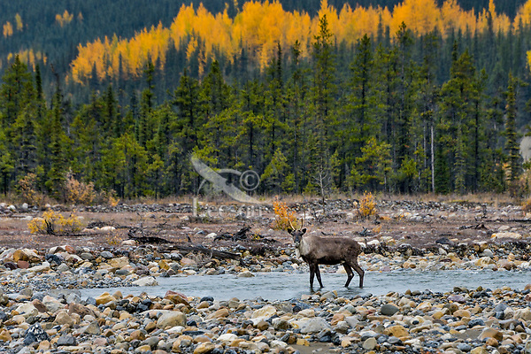 Young bull Woodland Caribou or forest-dwelling caribou (Rangifer tarandus caribou) wading mountain stream.  British Columbia.  Fall.