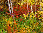 Wenatchee Nat'l Forest, WA <br /> Small grove of aspen (Populus tremuloides) with red-osier dogwood (Cornus solonifera) in fall color