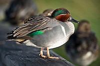 Green-Winged Teal sitting on railing