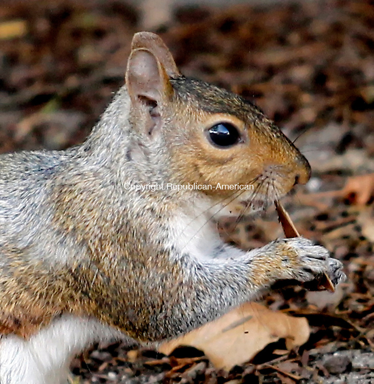 Waterbury, CT- 17, October 2010-101710CM01  A squirrel chews on seed pod Sunday morning. Weather experts are predicting a harsh winter, an indication provided by squirrels and other animals by their coats and harvesting.  Christopher Massa Republican-American