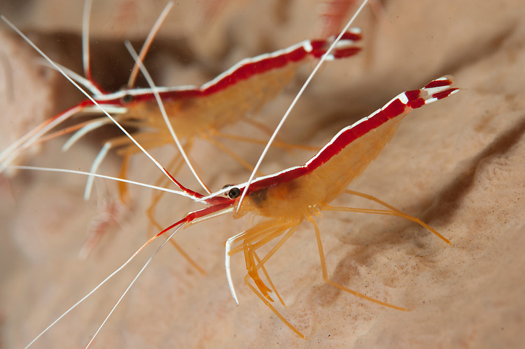 A pair of White stripe cleaner shrimp: Lysmata amboinensis