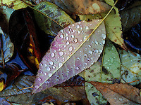 Raindrops on fall leaf collected with others in a puddle at a park.