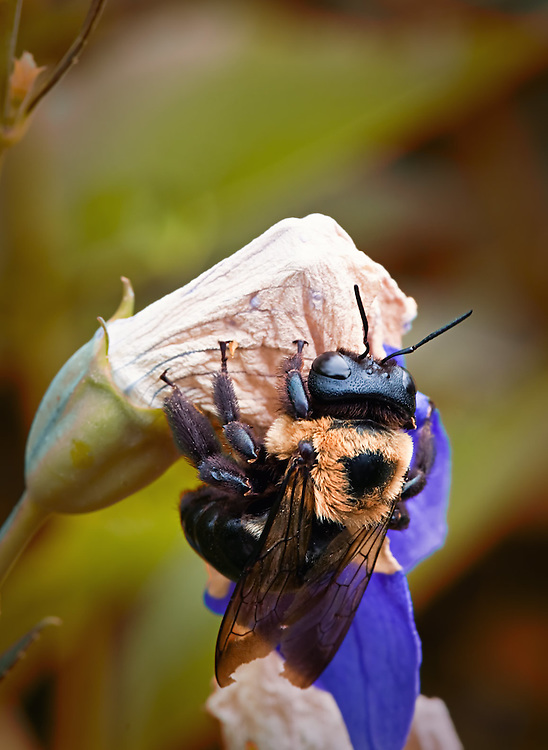 Carpenter Bee - Xylocopa virginica