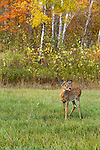 White-tailed fawn in autumn