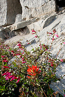 Yosemite National Park high country wildflowers by granite along Tioga Pass Road (Highway 120) include Applegate's Paintbrush (Castilleja applegatei) and bright pink Mountain Pride (Penstemon newberryi), California, United States of America