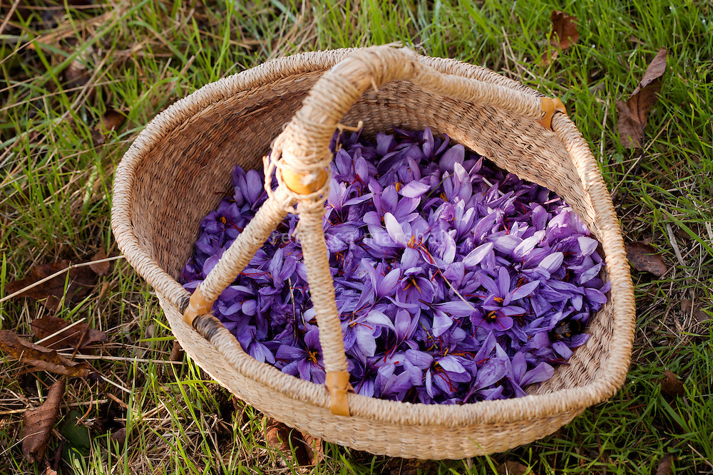 Freshly-harvested saffron flowers, Crocus Sativus, at La Ferme Lavancia, Puget-Théniers, France, 25 October 2013. Crocus Sativus thrives in the Mediterranean. Each plant grows to 20–30 cm and bears up to four flowers.