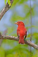 580980009 a wild male summer tanager piranga rubra songbird perches on a small limb on south padre island cameron county texas