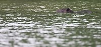 This tapir went for a swim in the Rio Claro.