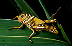 Grasshopper, Othoptera, yellow and brown stripes, on leaf, Belize
