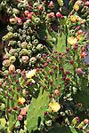 Cactus at Mission Sonoma